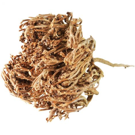 Resurrection Plant - Rose of Jericho from the Holy Land